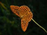 Argynnis paphia (Kaisermantel, Männchen) / CH BE Hasliberg 1060 m, 17. 07. 2014