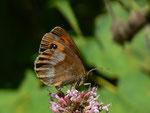 Erebia aethiops  (Graubindiger Mohrenfalter, Weibchen) / CH BE Hasliberg 1070 m, 02. 08. 2015