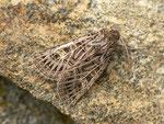Tholera decimalis (Weissgerippte Lolcheule) / CH BE Hasliberg 1050 m, 06. 09. 2017