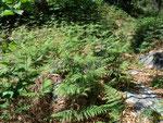 Pteridium aquilinum (Adlerfarn) / Polypodiaceae
