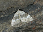 Coenotephria tophaceata (Grosser Felsen-Bindenspanner) / CH TI Gotthardpass 2250 m, 27. 07. 2012