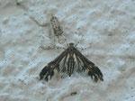 Pselnophorus heterodactyla (Hasenlattich-Federmotte) / CH BE Hasliberg 1240 m, 16. 07. 2014