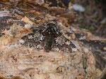 Biston strataria (Fühler des Pappel-Dickleibspanner-Männchens) / CH BE Hasliberg 1240 m, 08. 04. 2018