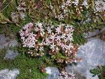 Sedum album (Weisser Mauerpfeffer) / Crassulaceae