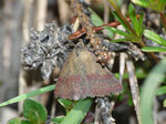 Phytometra viridaria (Kreuzblumen-Bunteulchen) / CH VD La Comballaz Grand Joux 1545 m, 04. 06. 2015