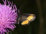 Psodos quadrifaria (Gelbgebänderter Flachstirnspanner) / CH VS Minstigertal 1650 m, 16. 07. 2010