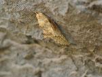 Pontia daplidice (Resedafalter) / Spanien Kan. Inseln Gran Canaria, Cruz Verde 966 m, 21. 01. 2014