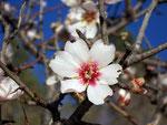 Prunus dulcis (Mandelbaum) / Rosaceae