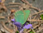 Callophrys rubi (Brombeer-Zipfelfalter) / CH BE Hasliberg 1050 m, 23. 04. 2013