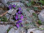 Linaria alpina (Alpen-Leinkraut) / Scrophulariaceae