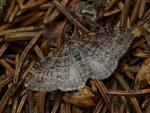 Xanthorhoe spadicearia (Heller Rostfarben-Blattspanner) / CH TI Alpe Domàs 1666 m, 18. 06. 2015