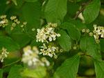 Prunus padus (Traubenkirsche) / Rosaceae