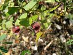 Aristolochia baetica (Andalusische Pfeifenblume)