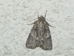 Acronicta rumicis (Ampfer-Rindeneule) / CH BE Hasliberg 1050 m, 23. 08. 2013