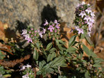 Thymus pulegioides (Arznei-Thymian) / Lamiaceae