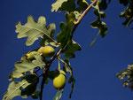 Quercus robur (Stieleiche) / Fagaceae