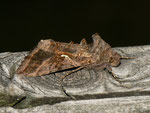 Autographa gamma (Gammaeule) / CH BE Hasliberg 1050 m, 16. 09. 2012