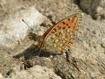 Argynnis niobe (Stiefmütterchen-Perlmuttfalter) / CH VS Bellwald-Flesche 2064 m, 15. 08. 2013