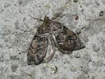 Hydriomena impluviata (Erlenhain-Blattspanner) / CH TI Nufenen Bedretto 2002 m, 22. 08. 2011