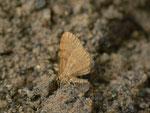 Itame brunneata (Waldmoorspanner) / CH GR Val Müstair Fuldera 1629 m, 12. 07. 2014