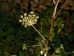 Angelica sylvestris (Wald-Engelwurz oder Wilde Brustwurz) / Apiaceae