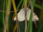 Eulithis populata (Veränderlicher Haarbüschelspanner) / CH VS Lac de Tseuzier 1777 m, 23. 08. 2017