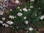Silene vulgaris (Taubenkropf-Leimkraut) / Caryophyllaceae