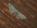 Eupithecia tripunctaria (Dreipunkt-Blütenspanner) / CH BE Hasliberg 24. 06. 2020 (Zucht)