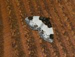 Mesoleuca albicillata (Brombeeer-Blattspanner) / CH SG Oberschan Palfris Gufera 1507 m, 06. 06. 2014