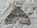 Entephria caesiata (Veränderlicher Gebirgs-Blattspanner) / CH VS Saastal, Saas-Fee 1820 m, 11. 08. 2011