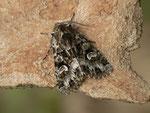 Pachetra sagittigera (Trockenrasen-Blättereule) / CH BE Hasliberg 1050 m, 13. 05. 2015