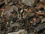 Spargania luctuata (Schwarzweisser Weidenröschenspanner) / CH NW Emmetten Höch Wald 1100 m, 13. 06. 2014