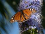 Danaus plexippus (Monarch) / Portugal Madeira Funchal, Meereshöhe, 28. 01. 2015