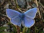 Polyommatus bellargus (Himmelblauer Bläuling, Männchen) / CH VS Val d'Anniviers St-Luc Tignousa 2170 m, 11. 10. 2012