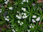 Galium spec./ Rubiaceae