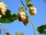 Humulus lupulus (Hopfen) / Cannabaceae