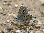 Pseudophilotes panoptes (Männchen, derselbe Falter wie vorher) / E Span. Pyrenäen, Pamplona-Jaca, Valle de Ansó, Rio Veral 670 m, 07. 05. 2012