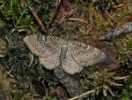 Hydria (Rheumaptera) undulata (Wellenspanner) / CH OW Glaubenberg Schwendi-Kaltbad 1440 m, 11. 07. 201