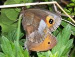 Erebia aethiops  (Graubindiger Mohrenfalter, Weibchen Paarung mit Maniola jurtina-Männchen!!!!) / CH BE Hasliberg 1050 m, 29. 07. 2007