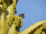 Danaus plexippus (Monarch) / España Kan. Inseln, Gran Canaria, Puerto Mogán, Meereshöhe, 06. 02. 2012