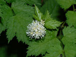 Actaea spicata (Christophskraut) / Ranunculaceae