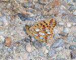 Issoria lathonia (Kleiner Perlmuttfalter) / Italien Aostatal Valpelline 01. 08. 2007