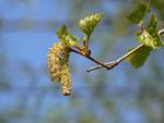 Betula (Birke) / Betulaceae