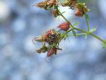 Bembecia ichneumoniformis (Hornklee-Glasflügler, Männchen) / CH BE Hasliberg 1070 m, 16. 08. 2019