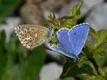 Polyommatus bellargus (Himmelblauer Bläuling, Paarung) / CH BE Hasliberg 1050 m, 17. 05. 2014