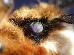 Endromis versicolora Auge Männchen