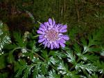 Scabiosa columbaria (Taubenskabiose) / Dipsacaceae
