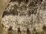 Lycia hirtaria (Schwarzfühler-Dickleibspanner, Männchen,Flügelschuppen ) / CH BE Hasliberg 1050 m, 09. 04. 2018