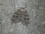 Epirrita autumnata (Birken-Moorwald-Herbstspanner) CH VS Rosswald Stafel 1954 m, 23. 09. 2011