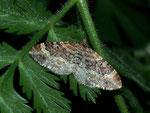 Xanthorhoe spadicearia (Heller Rostfarben-Blattspanner) / CH VD Vallon de Nant 1570 m, 15. 06. 2012